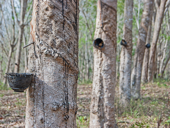 Image of rubber tree