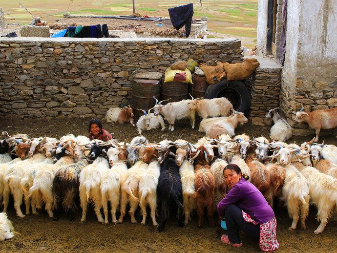 Nepali women milking goats
