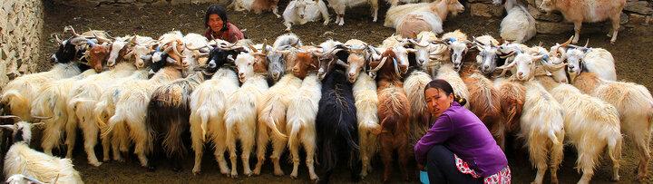 Women milking goats in Nepal